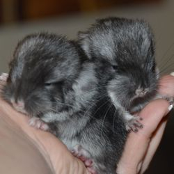 Black Velvet Baby Chinchillas