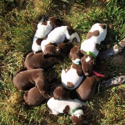 C litter puppies