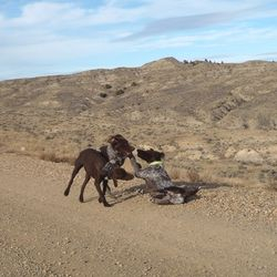Pups playing on the way home from SD hunt.