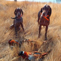 Hard fought for birds morning hunt!