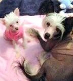 Chinese Crested  customer feedback