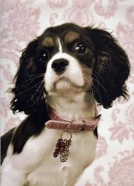 AKC Cavalier King Charles Puppies. Stud Service - New England, RI, MA, CT, NH, VT, ME, NY, NJ, PA
