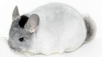 TOV Mosaic Chinchilla