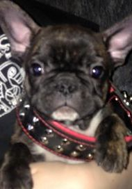 Brindle Male Puppy