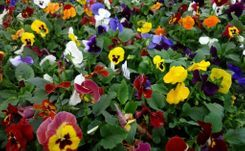 Flats of Pansies