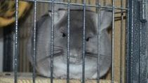 Cute TOV Violet Chinchilla in Ferret Nation cage