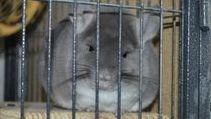Cute TOV Violet Chinchilla in Ferret Nation cage