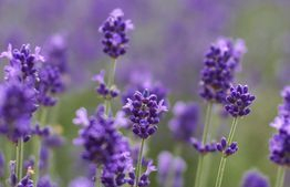 Balance your entire self with Lavender essential oil