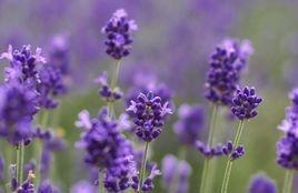 Lavender is the ultimate balancer
