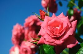 Rose is a delicate floral & helps encourage love