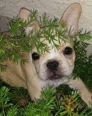 Cream colored  Male Puppy
