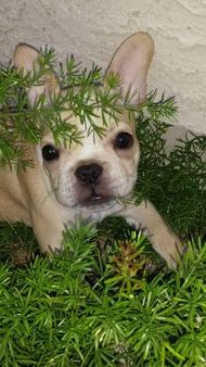 One of our past cream colored Male French Bulldog Puppies.