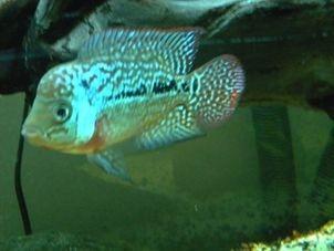 My Male Pearl Kamfa Flowerhorn