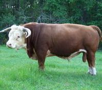 All Natural Grass fed beef from Miniature Herefords