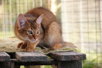 Fallenrain R_i_p_al_capone__a_gorgeous_somali_cat_by_tateno-d63lwm0