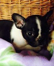Black Brindle Pied Female Puppy