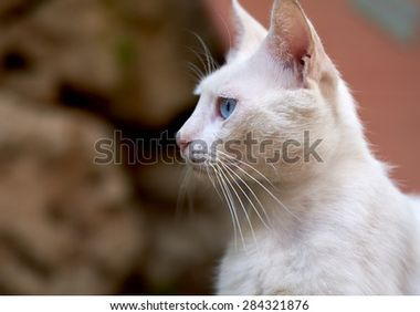 Description + Cat = Game! Stock-photo-white-cat-with-blue-eyes-284321876