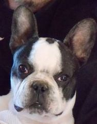 Black Brindle Pied Male Puppy