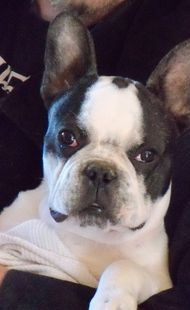 One of our past Pied Frenchie Male Puppies