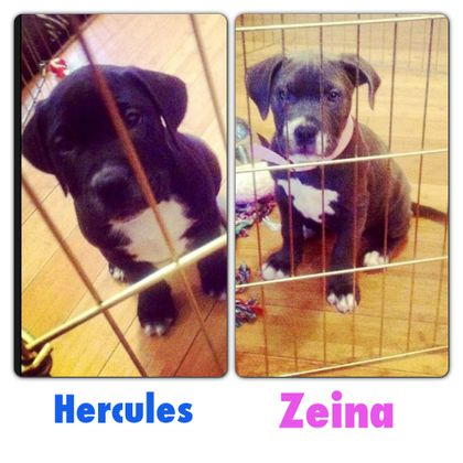 ADOPTED Hercules and Zeina came to us because a women was getting evicted. Both puppies are Pit Bull mix with Lab. They are 8 weeks old have Demodex mange which they are currently being treated for right now. They are in foster care and will be ready in 2 months for their forever homes.