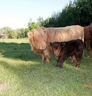 Miniature Highland and her Mini boy Chubbs