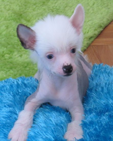 chinese crested with blue eyes