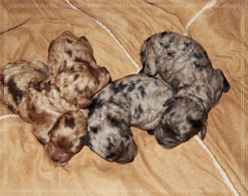 Choco Merle M+F available
