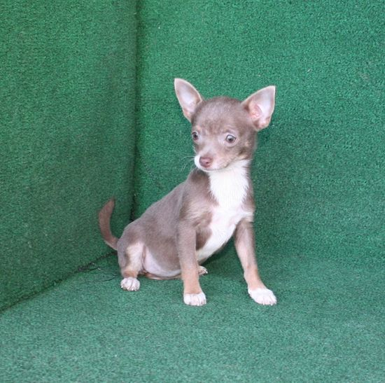 Charice, tiny blue fawn female. $600